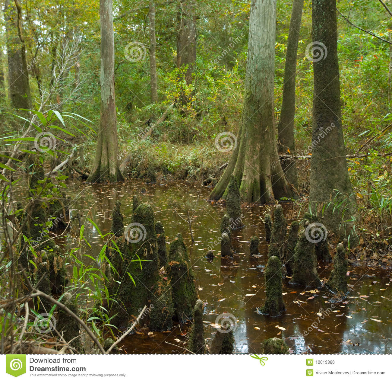 Bald Cypress Swamp In Big Thicket Preserve Texas Stock