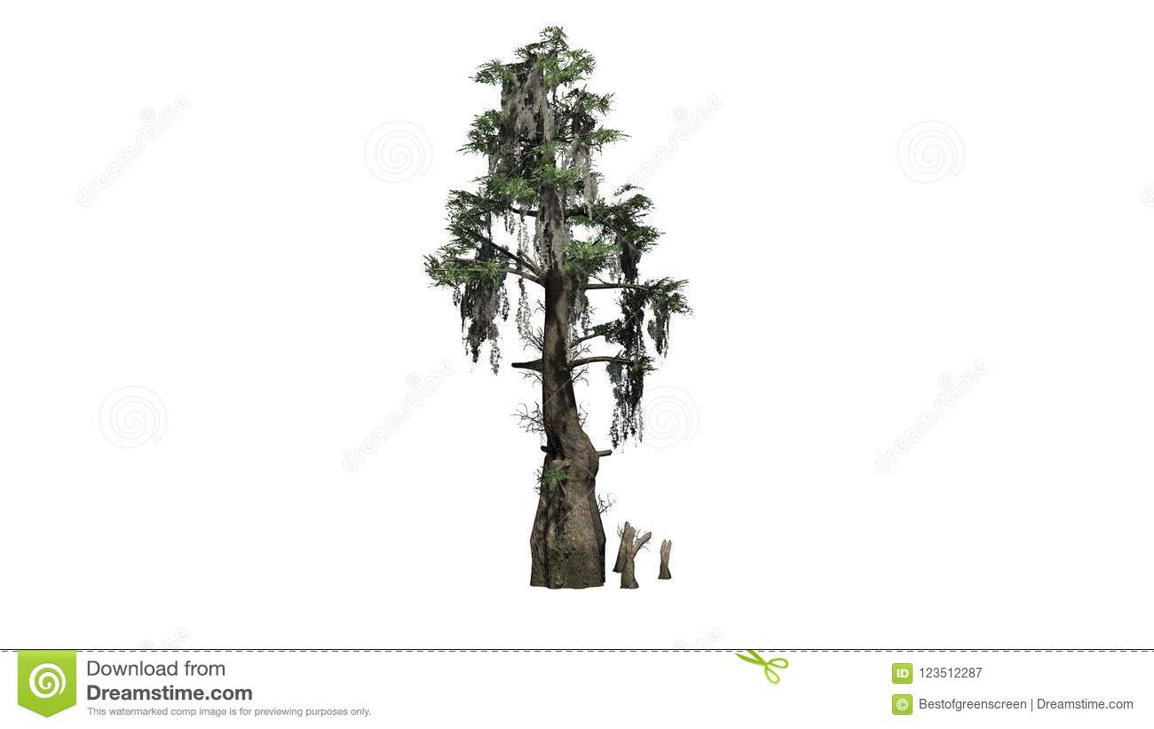 Bald Cypress Tree Stock Illustration Illustration Of Swamp 123512287