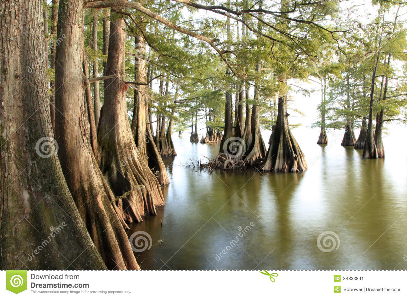 Bald Cypress Trees at the Lakes Edge as the Sun Begins to Set