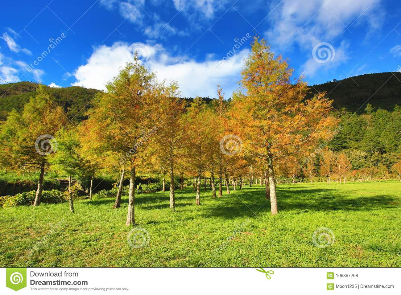 Bald cypress trees stock photo. Image of forest, beautiful - 106867268