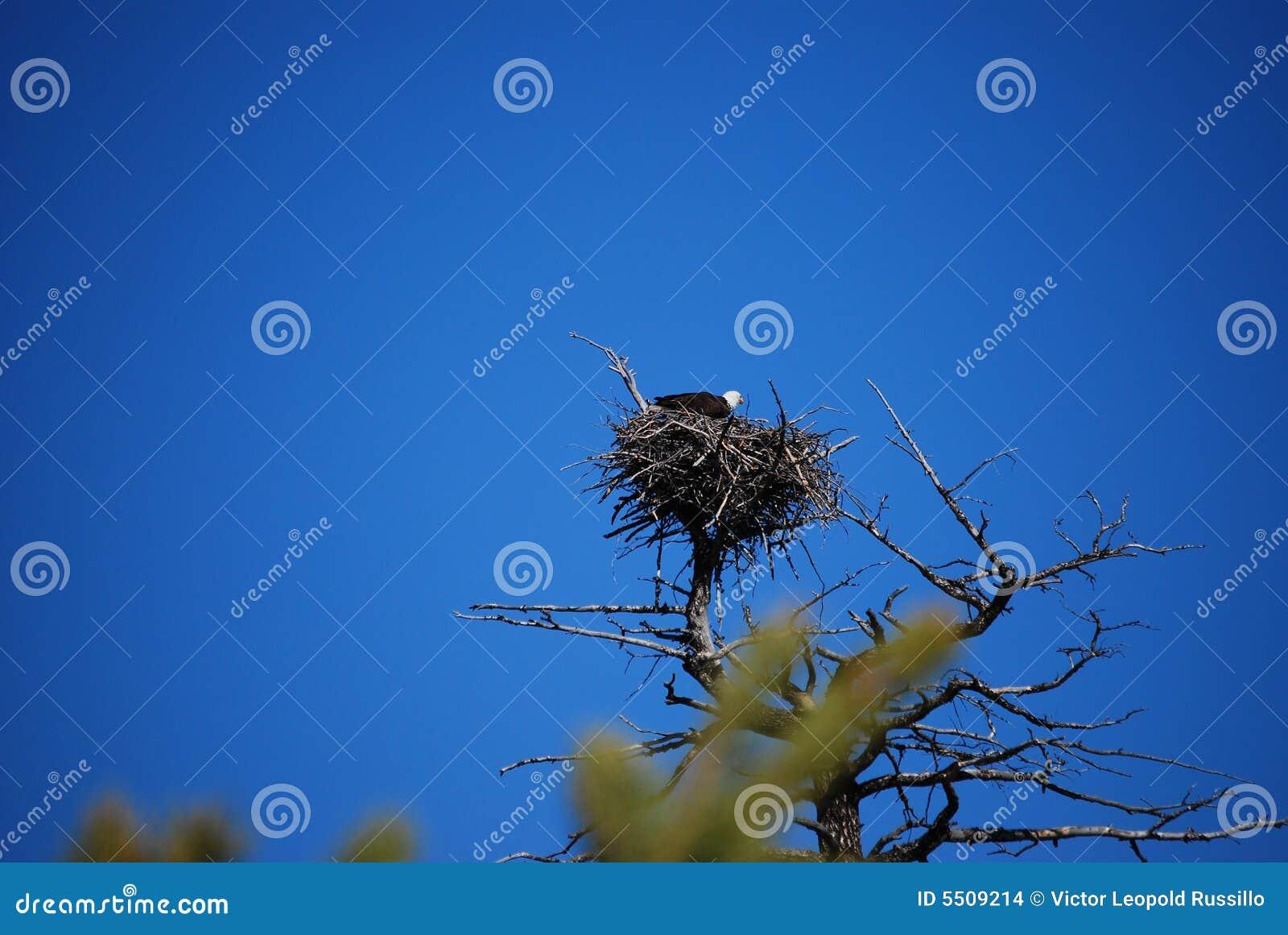 Bald Eagle In Aerie Nest Stock Photo Image Of Vivid Nest 5509214