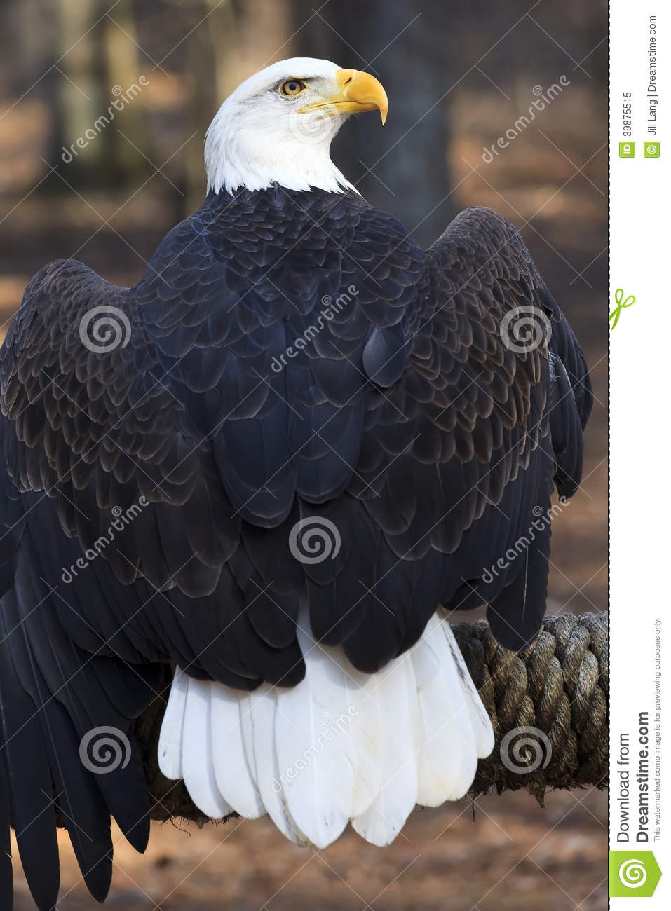 Bald Eagle Stock Image Image Of Protected Natural