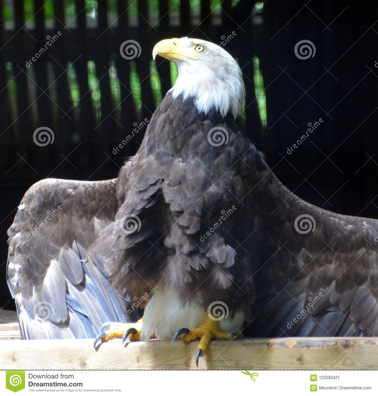 The Bald Eagle Is A Bird Of Prey Stock Image Image Of Detail America 123580421