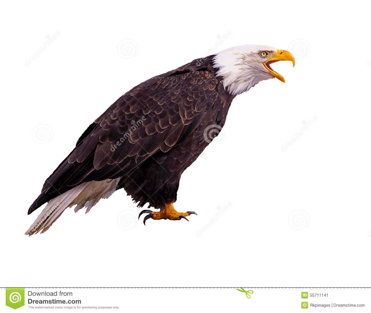 Bald Eagle calling, profile view on white background.