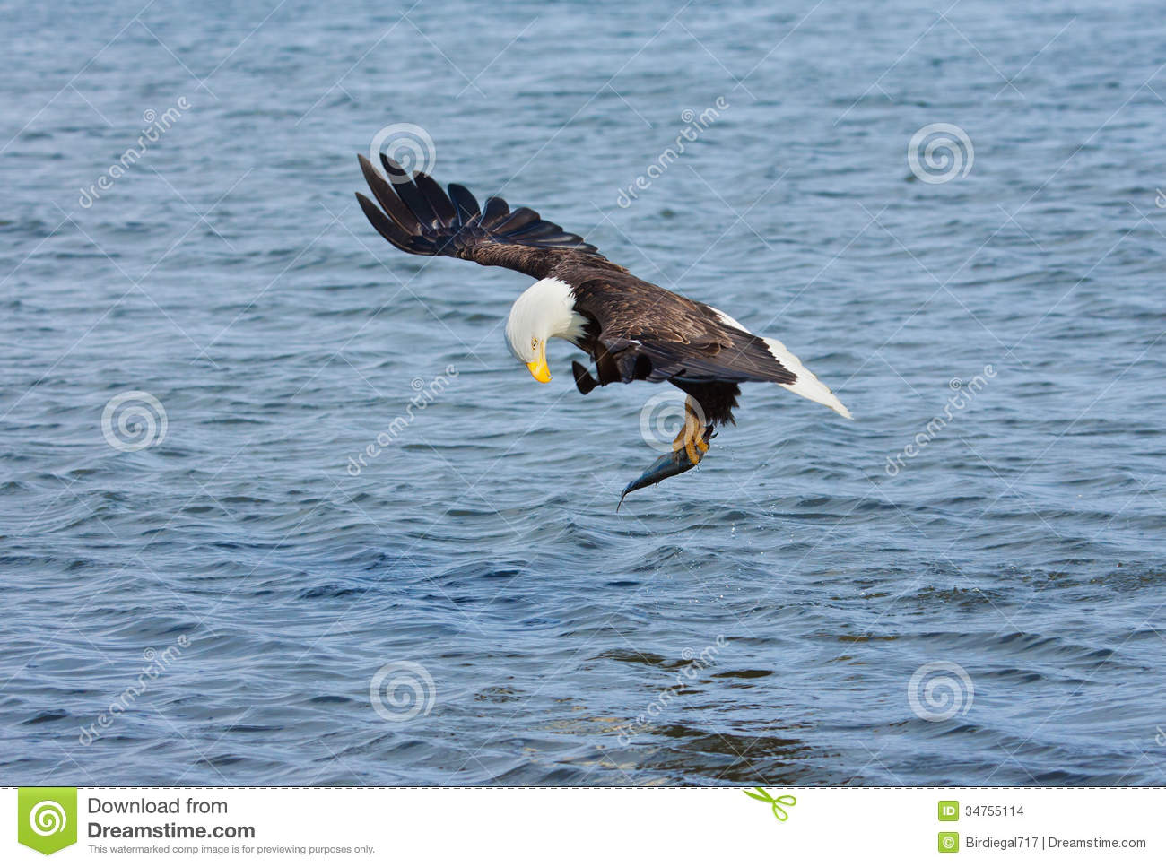 Bald eagle catching fish alaska usa stock photo image for Best time to fish in alaska
