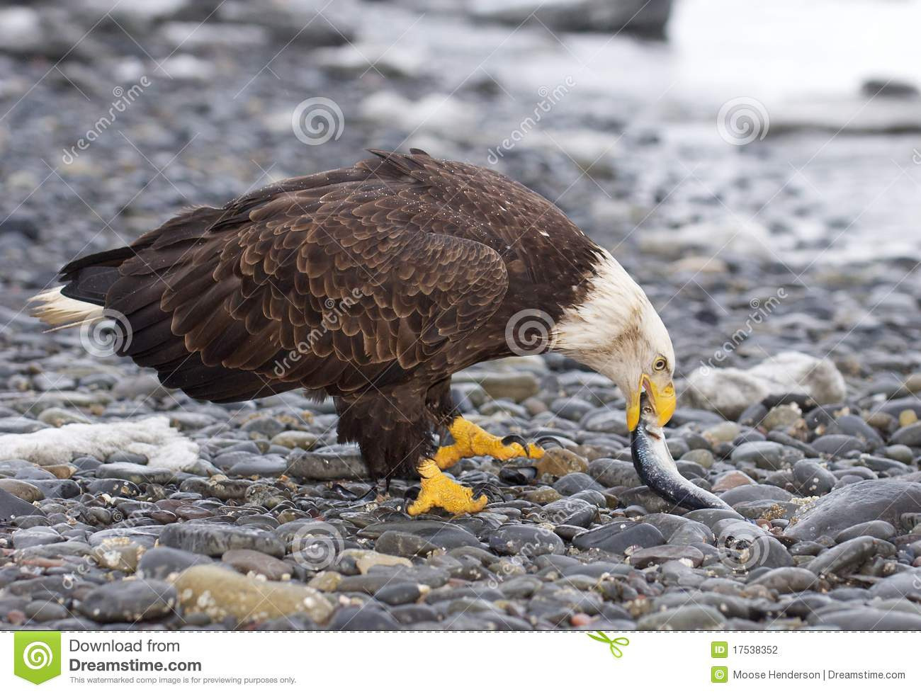 Bald Eagle Eating Stock Photography - Image: 17538352
