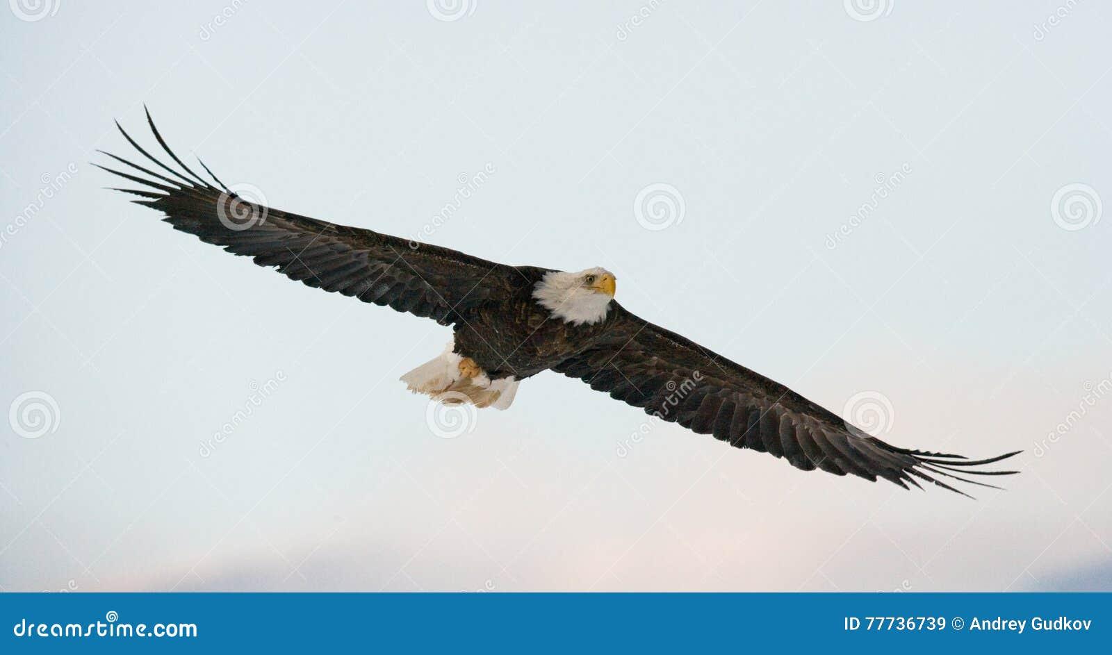 Bald eagle flight ΗΠΑ albedo Ποταμός Chilkat