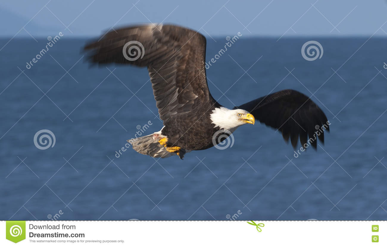Bald eagle flying over blue water in Homer, Alaska in March