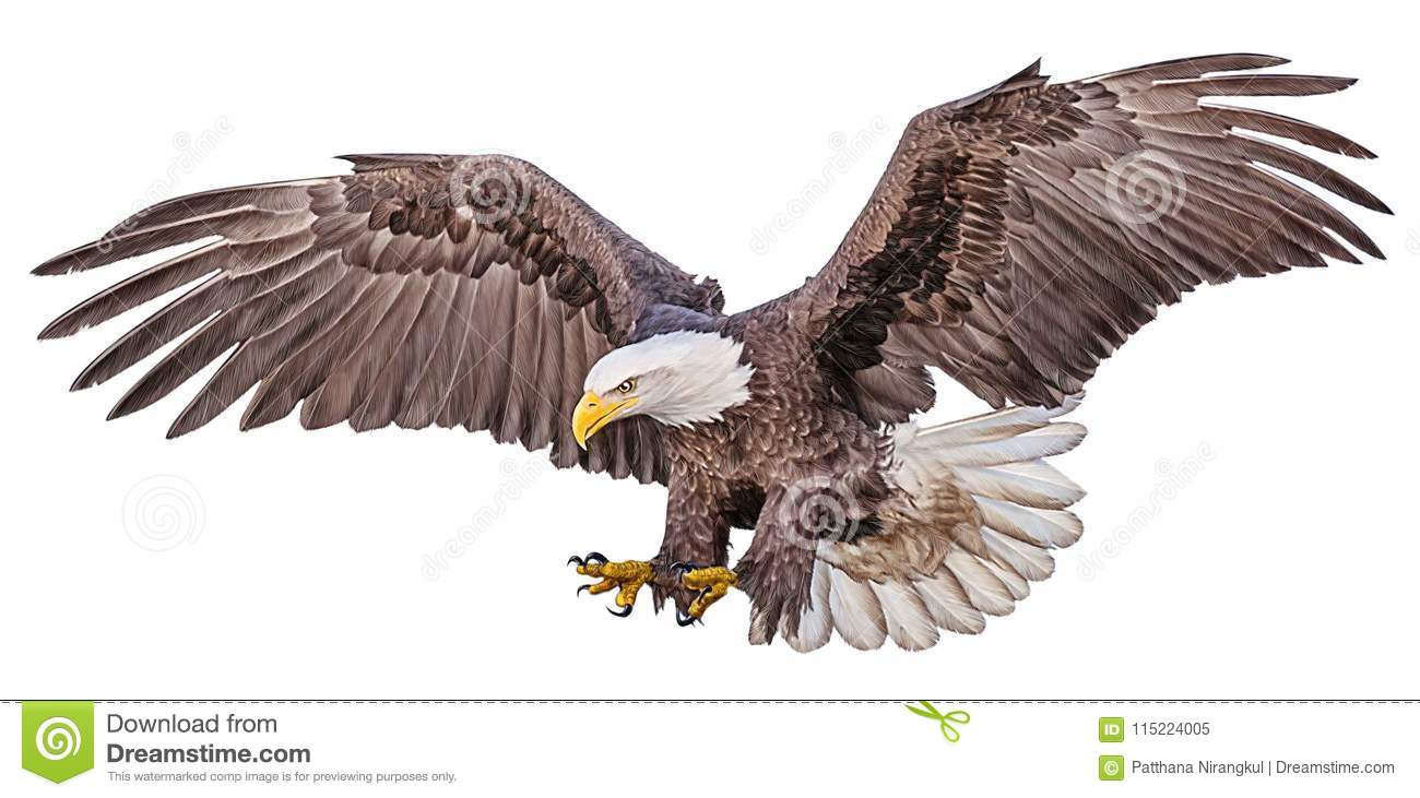 bald eagle flying swoop hand draw and paint color on white