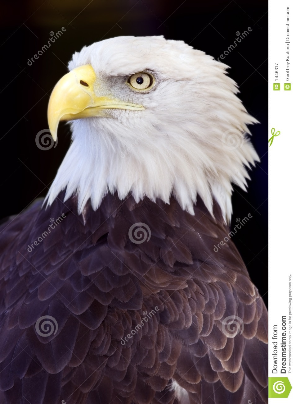 Bald Eagle (Haliaeetus leucocephalus) Against Black