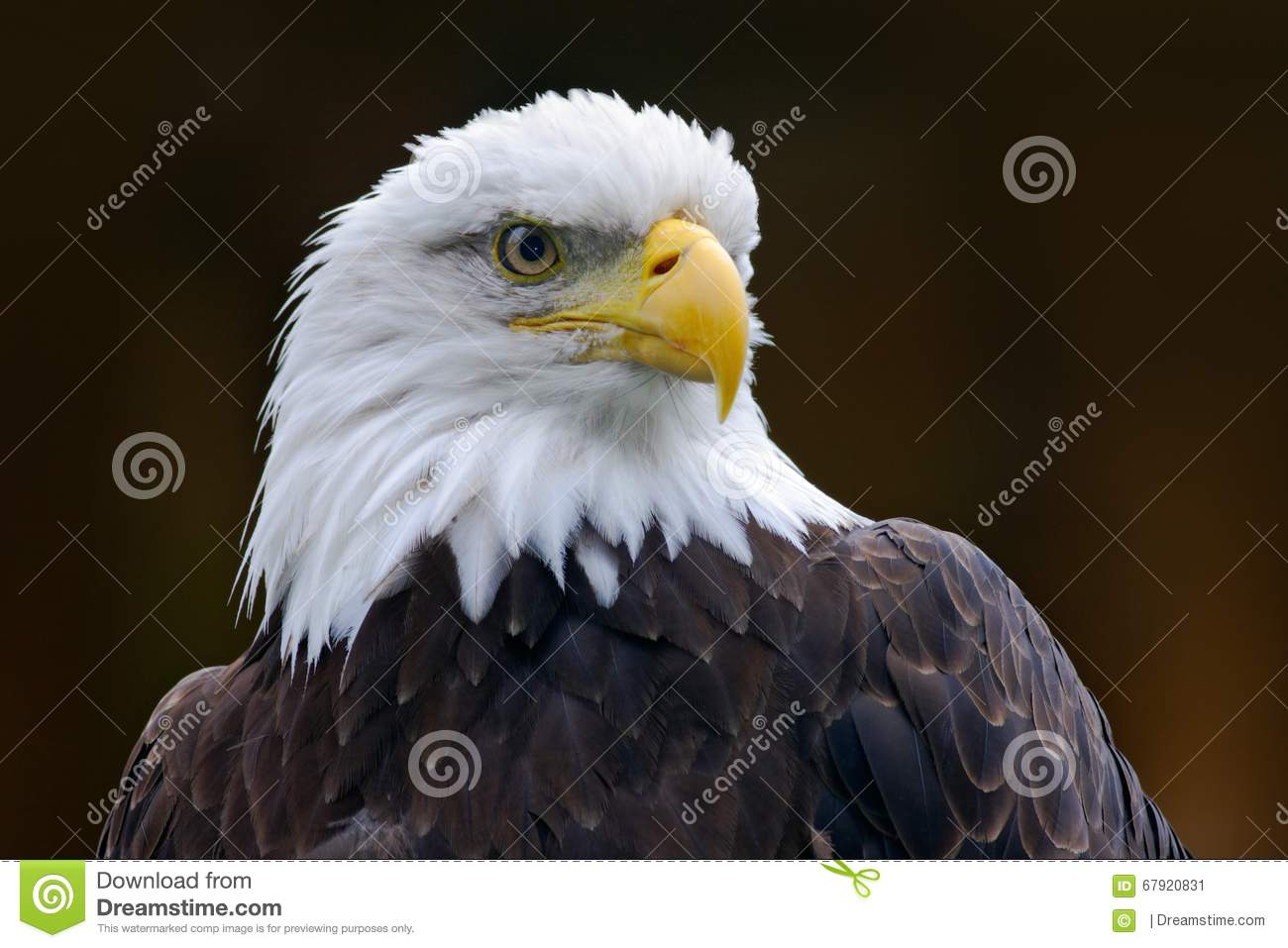 White Headed Eagle Drawing