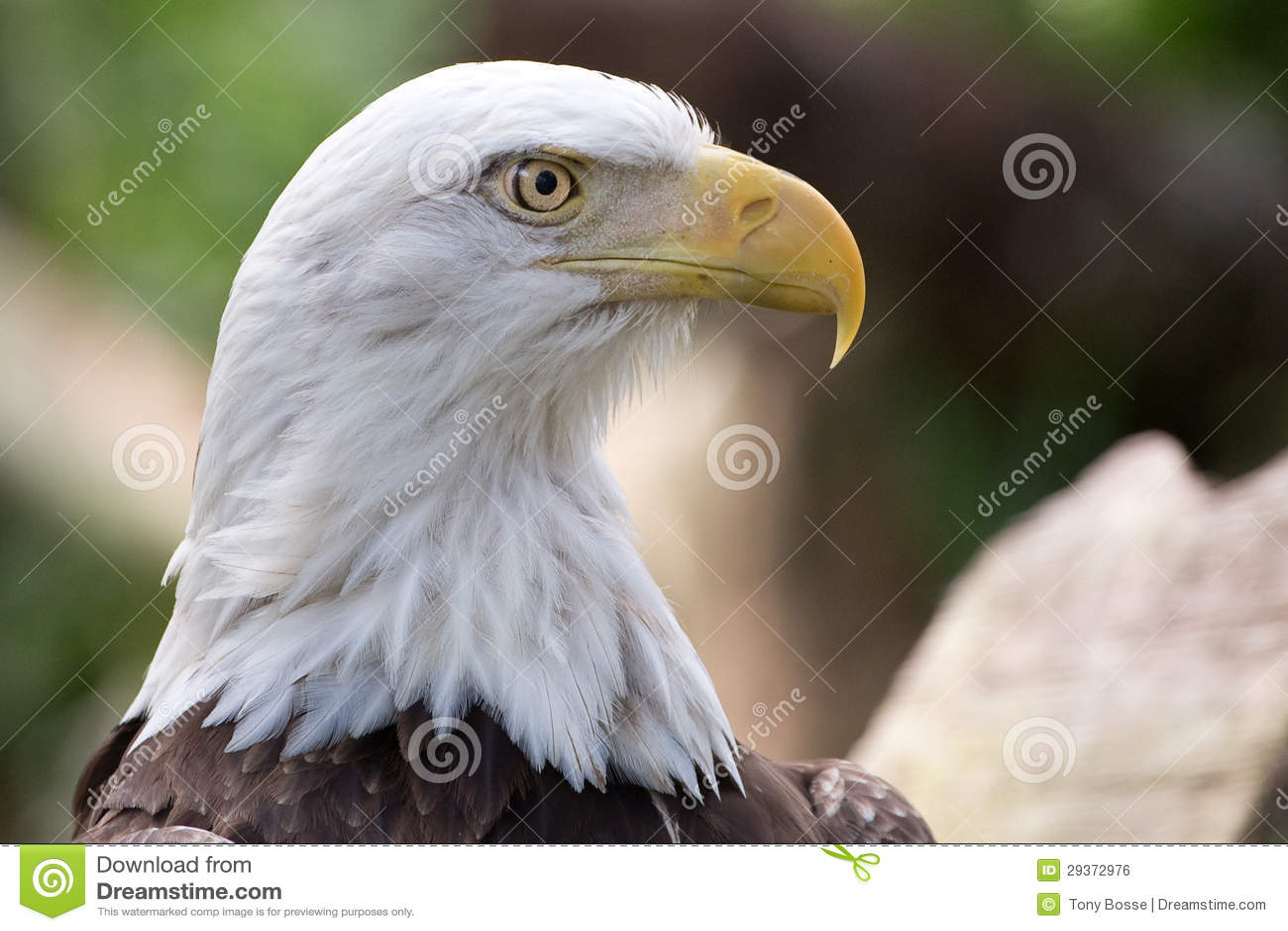 Bald eagle head front - photo#27