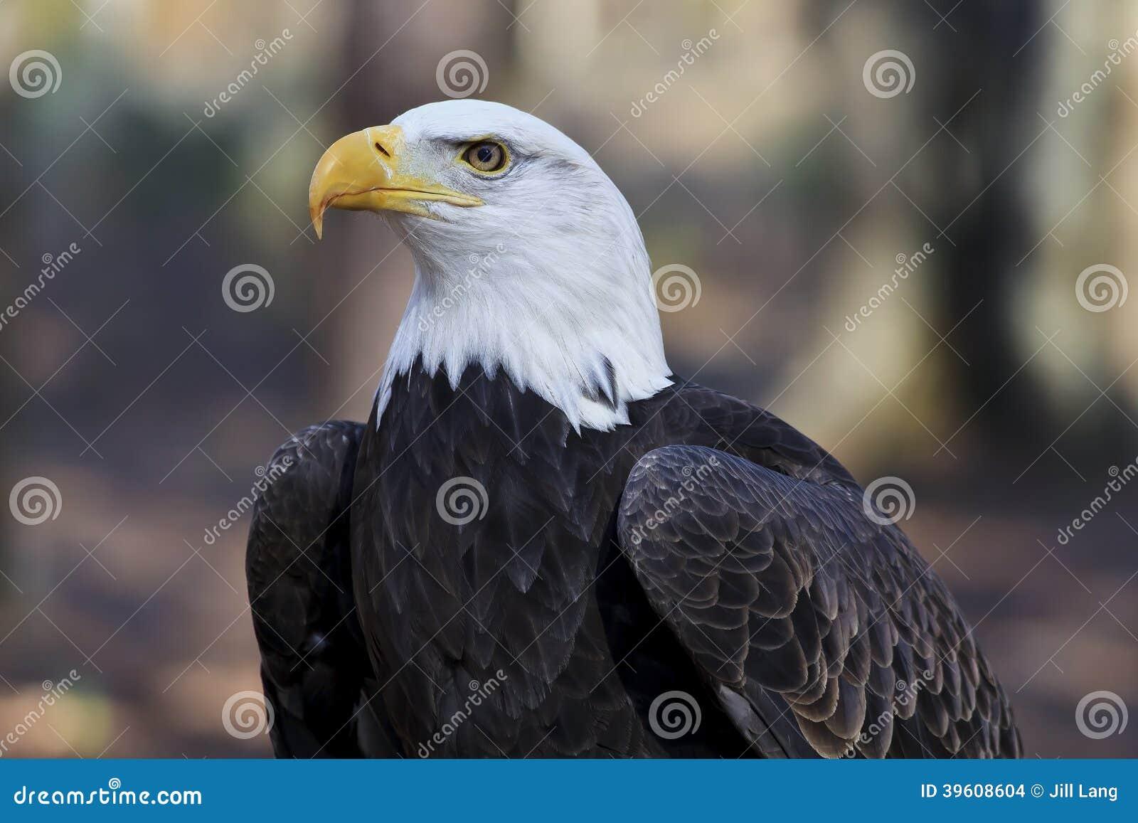 Bald eagle head front - photo#3