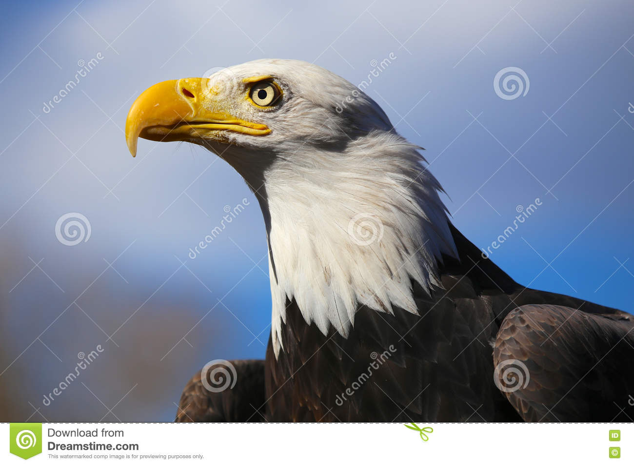 Bald Eagle Horizontal Close Up From The Side With Blue Sky