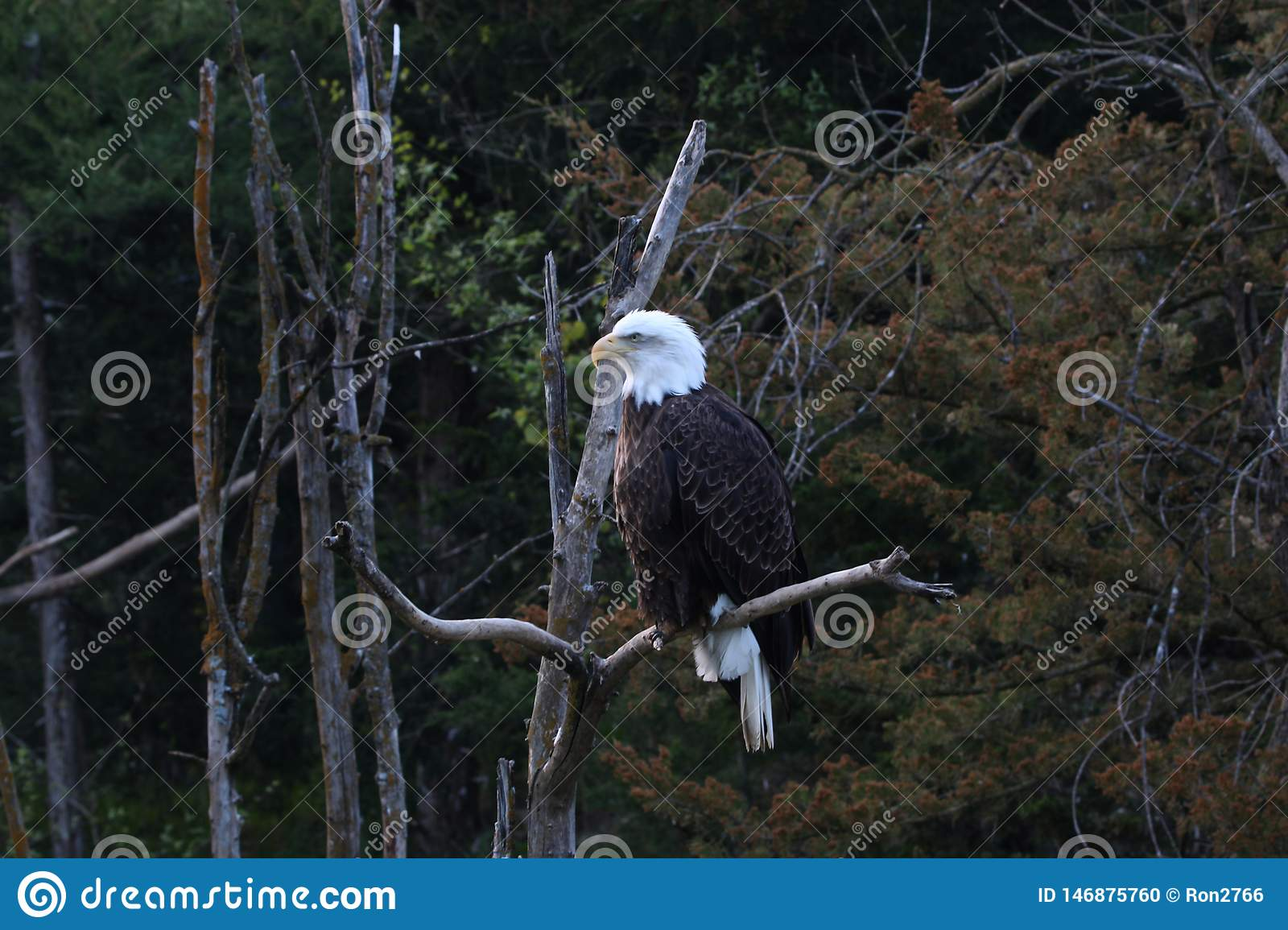 Bald eagles are large birds of prey native to North America.