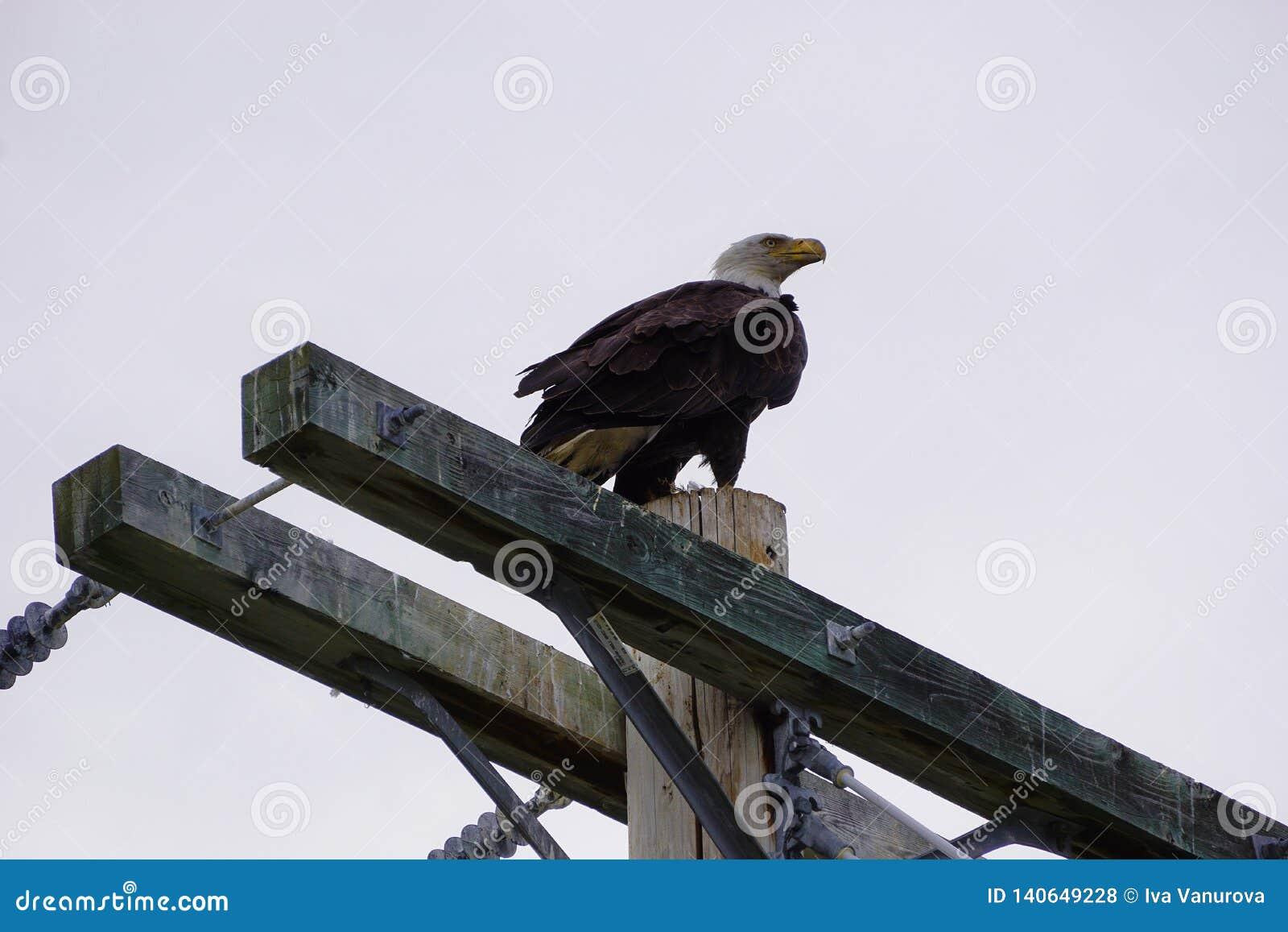 Bald Eagle in North America
