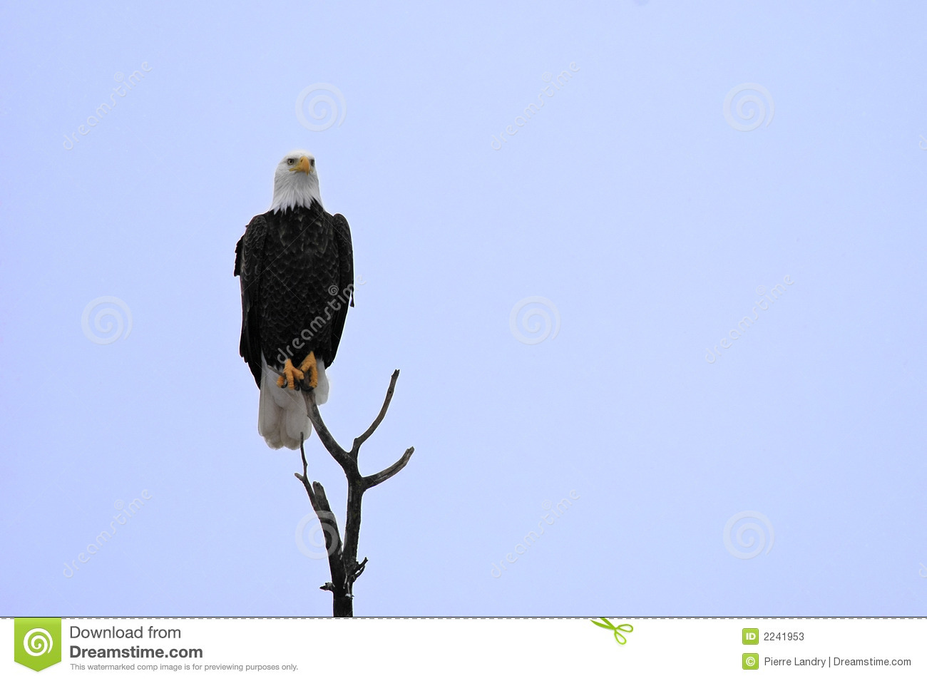Bald Eagle perched high
