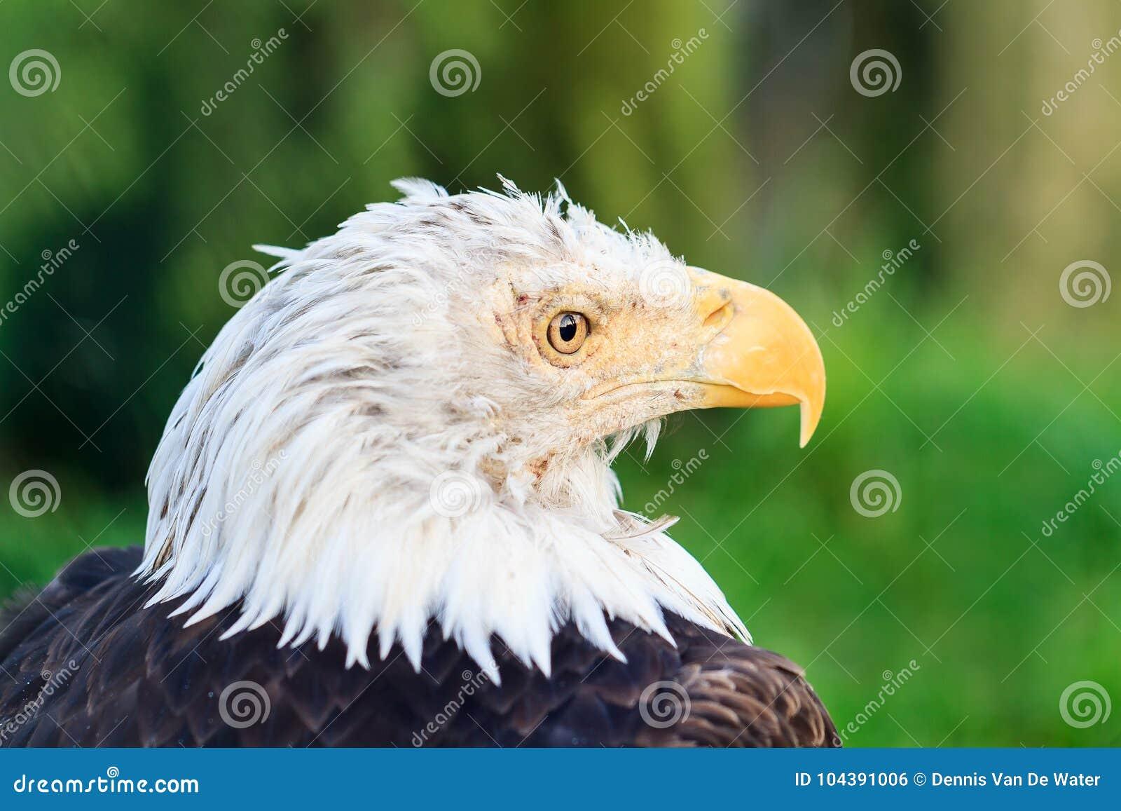 The Bald Eagle Portrait Stock Photo Image Of Beak Symbol 104391006