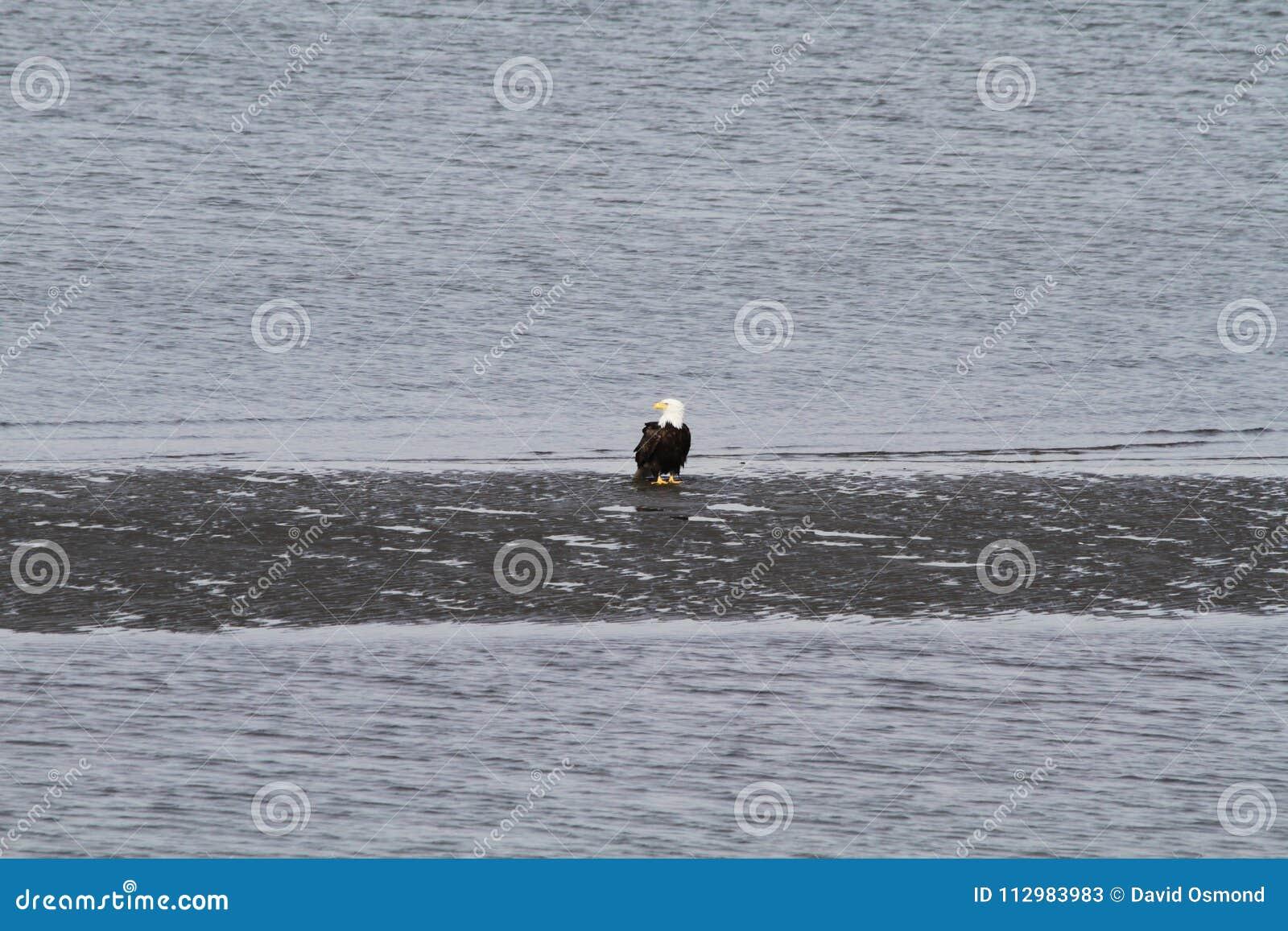 A bald eagle standing on a beach