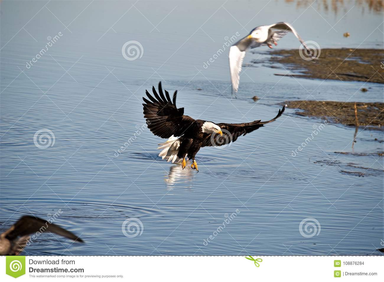 Bald Eagle starting to land in the shallowes