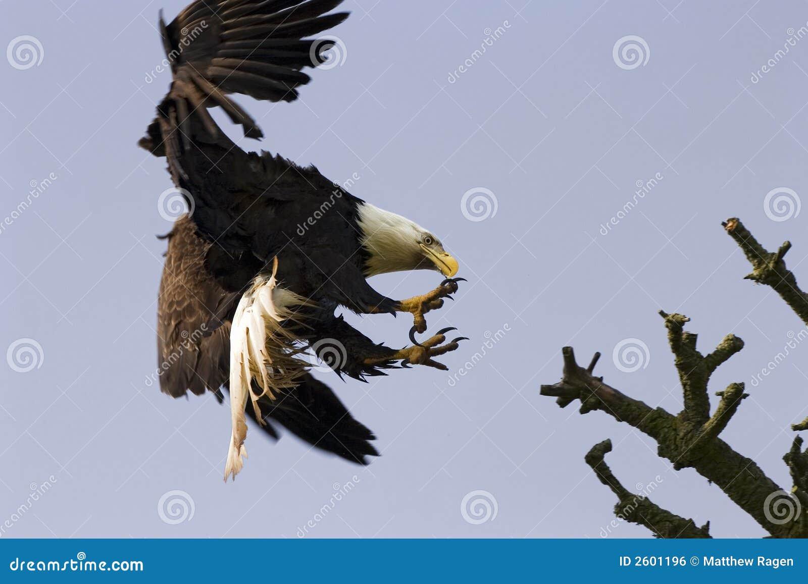 Bald Eagle With Talons