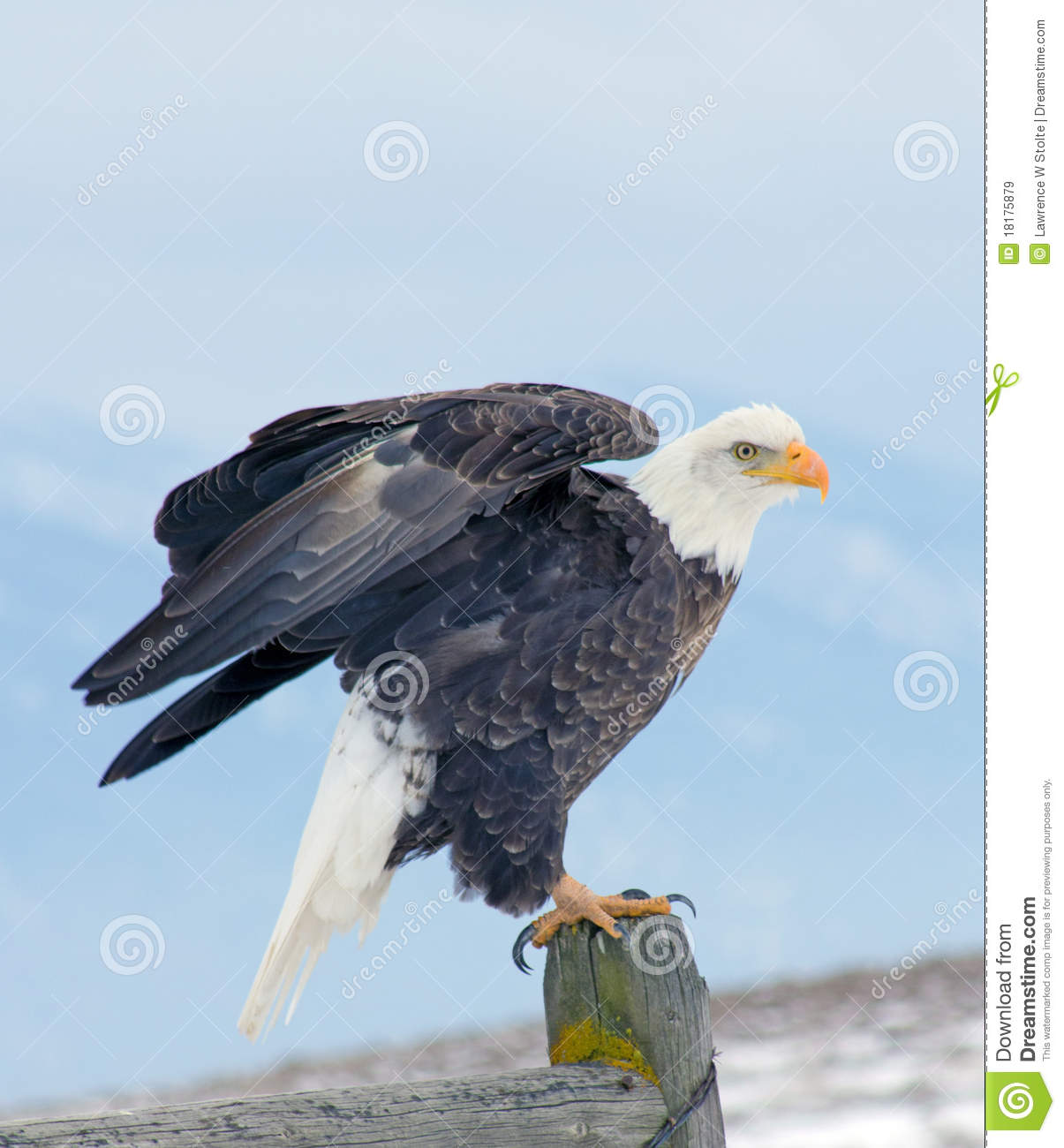 Bald Eagle About to Fly