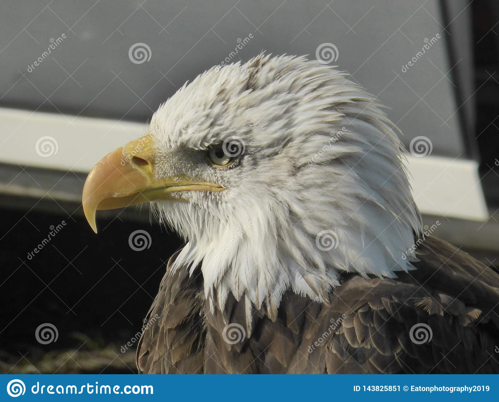 Bald eagle looking out at the world