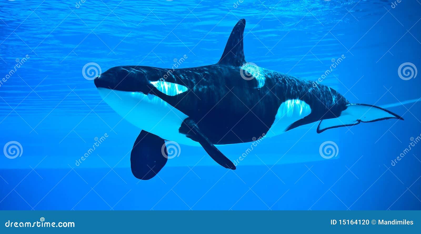 Baleia de assassino
