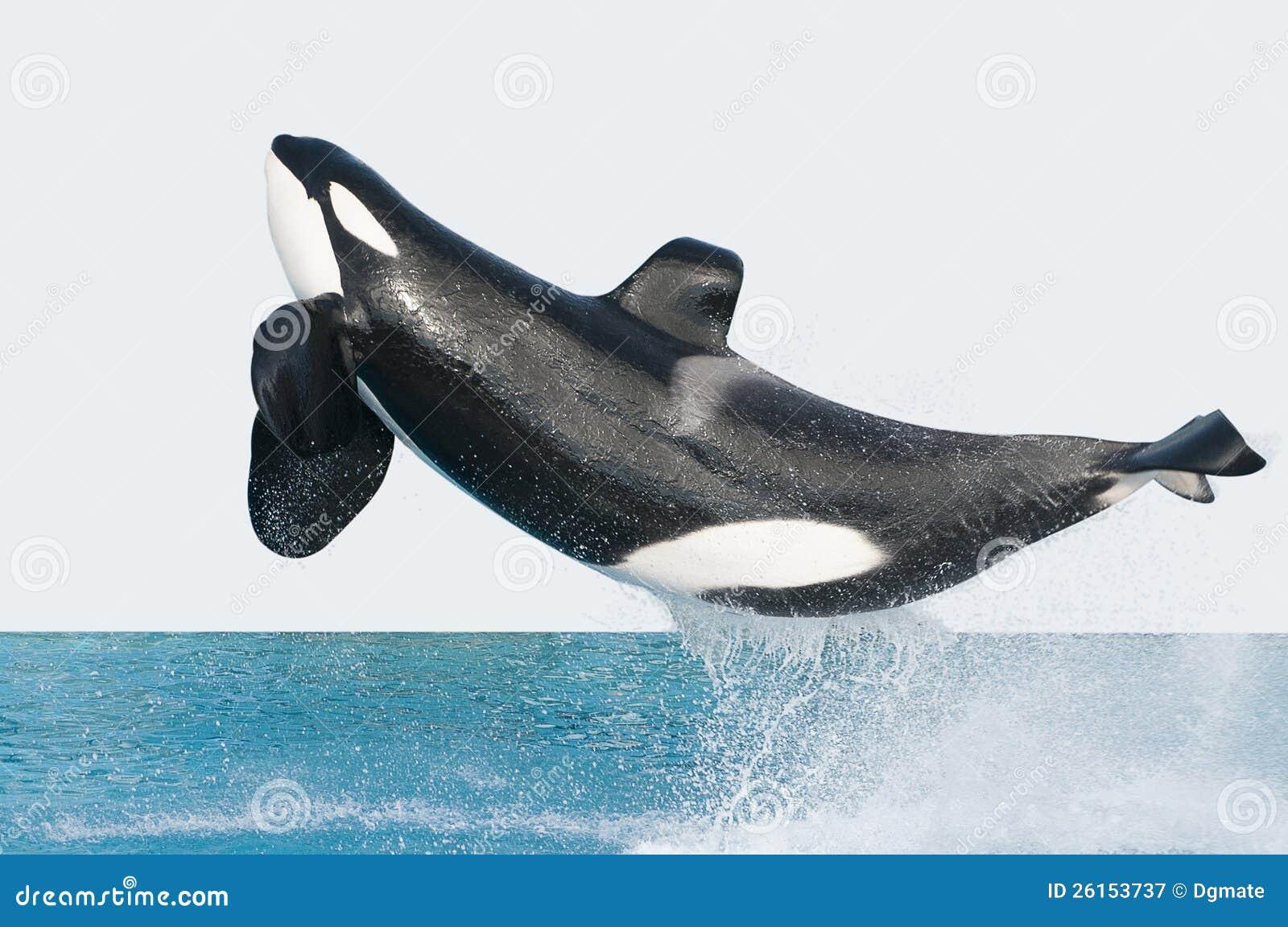 Baleia de assassino de salto