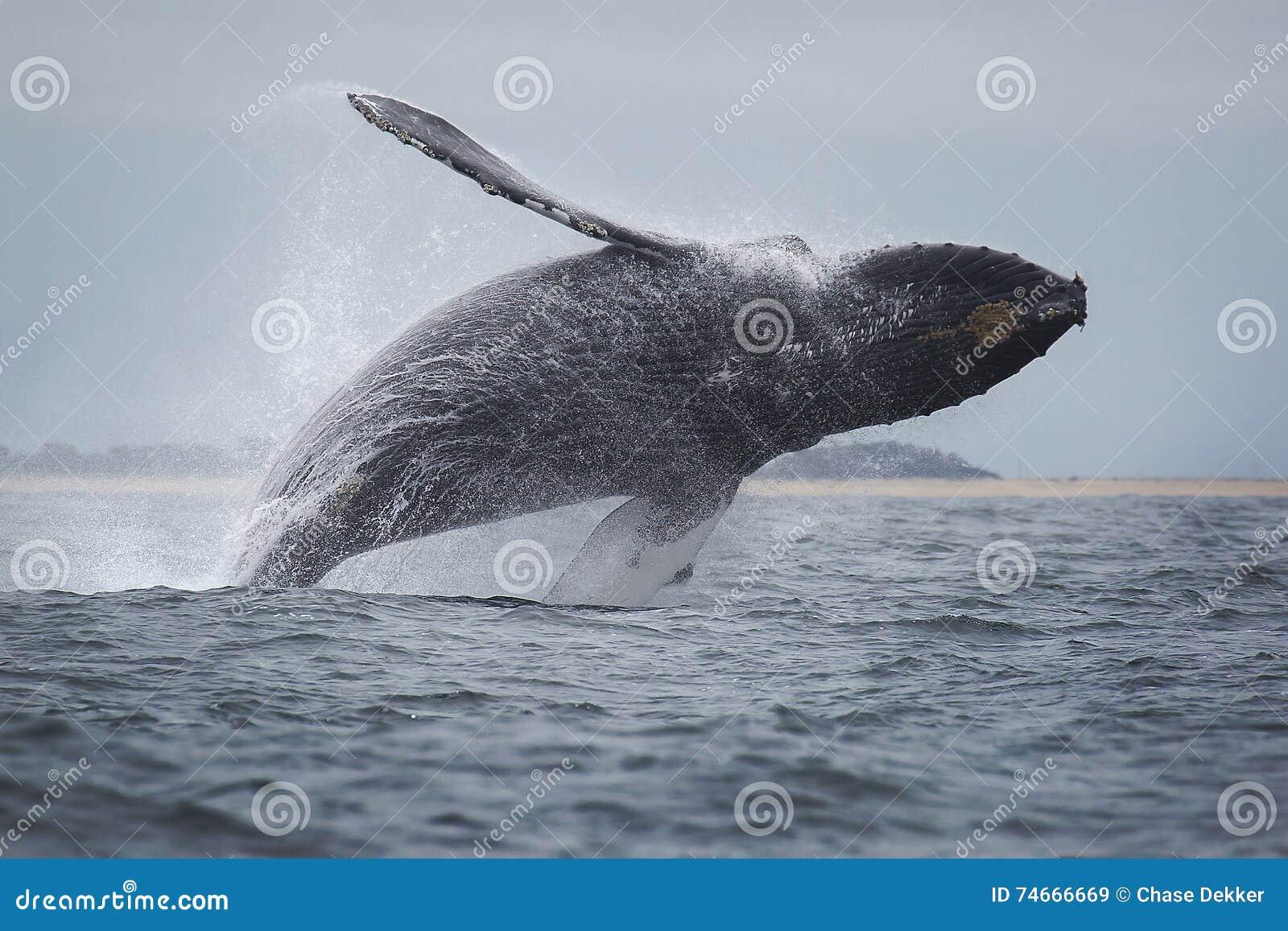 Baleia de corcunda