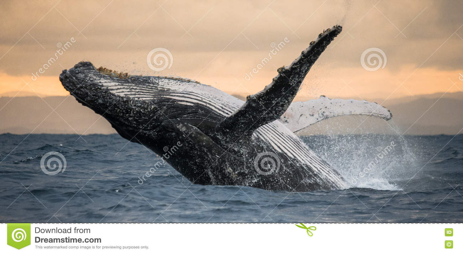 A baleia de corcunda salta da água Salto bonito Uma fotografia rara madagascar Ilha do ` s de St Mary