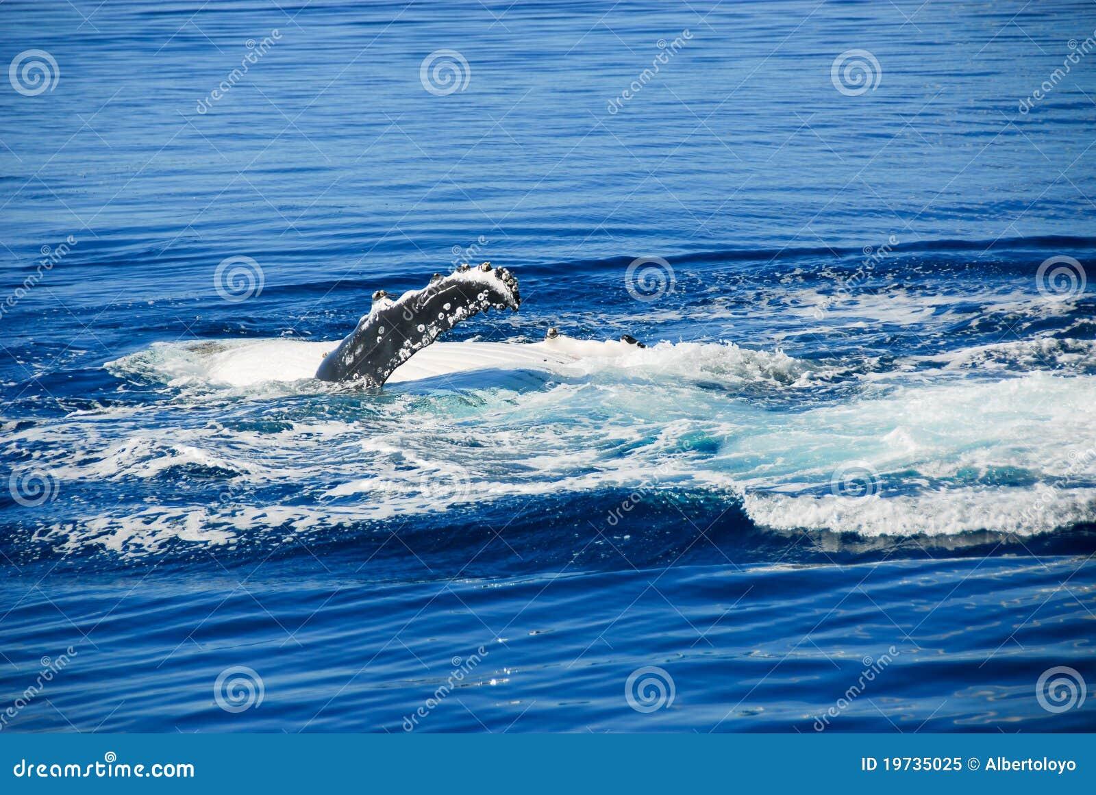 Baleia de Humpback no louro de Hervey, Austrália