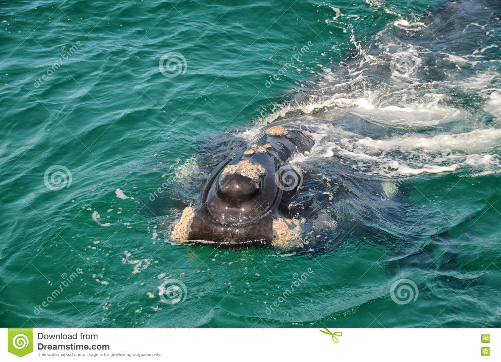 Baleia direita do sul juvenil