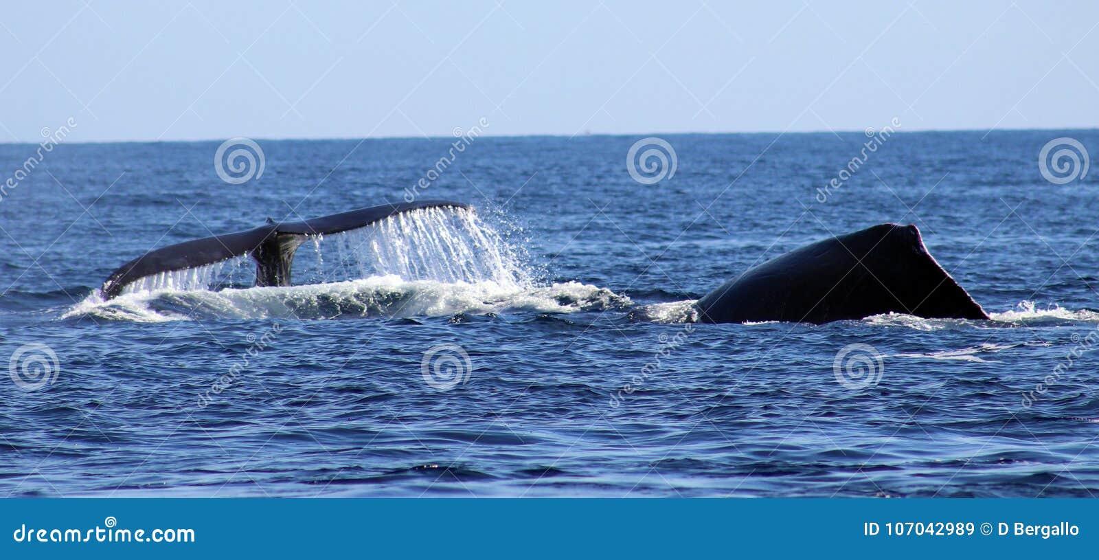 Baleia na opinião excelente de Los Cabos México da família das baleias no Oceano Pacífico