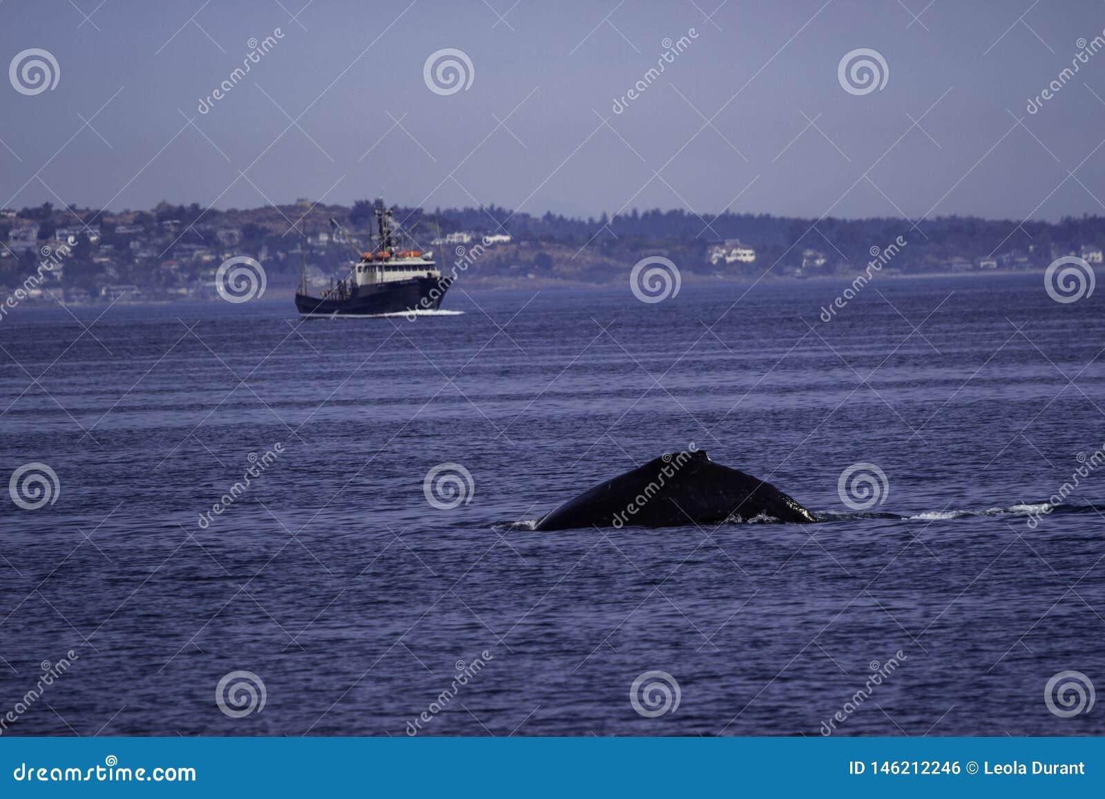 Baleia no oceano nas águas fora de Victoria BC