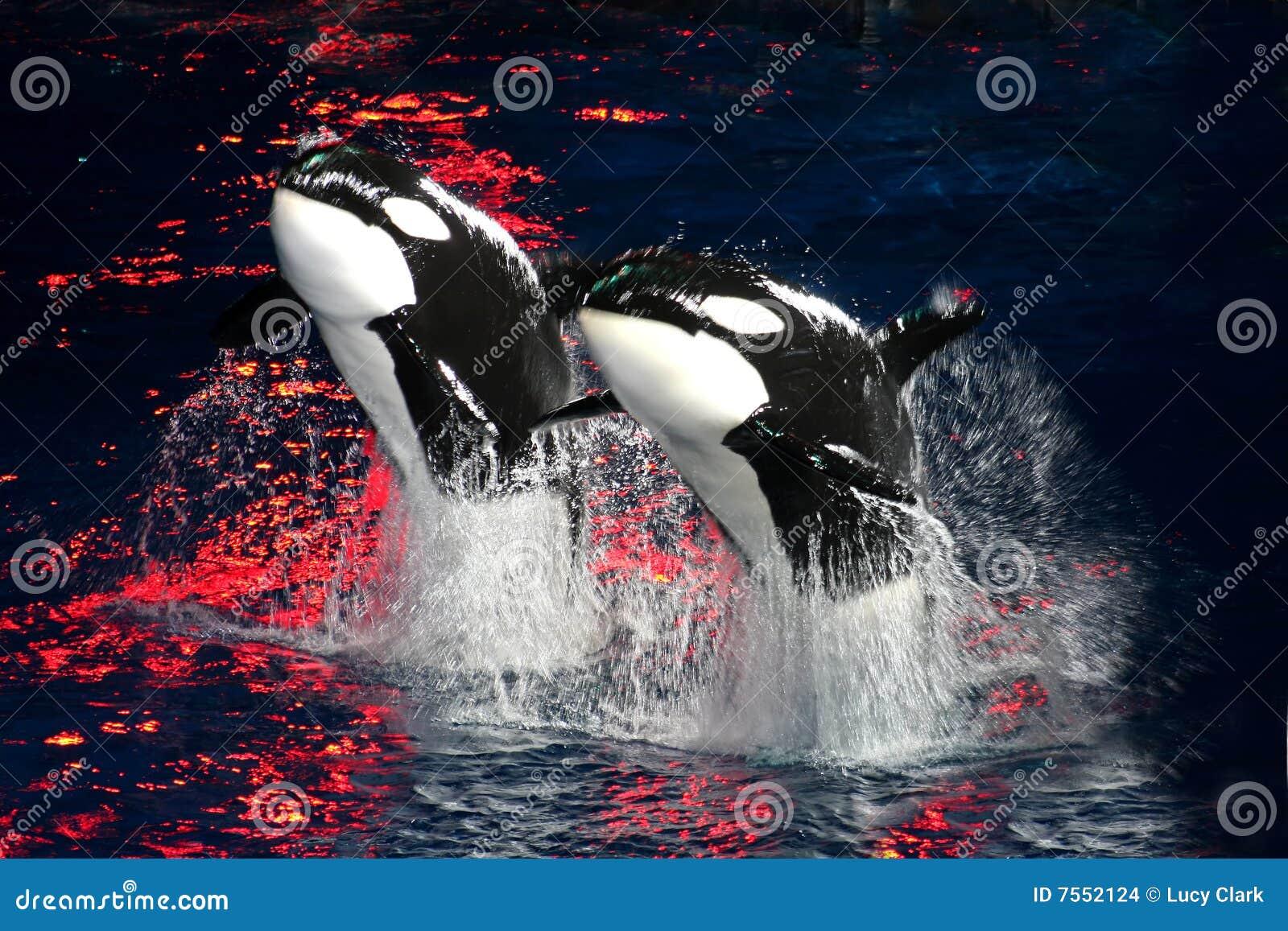 Baleias de assassino