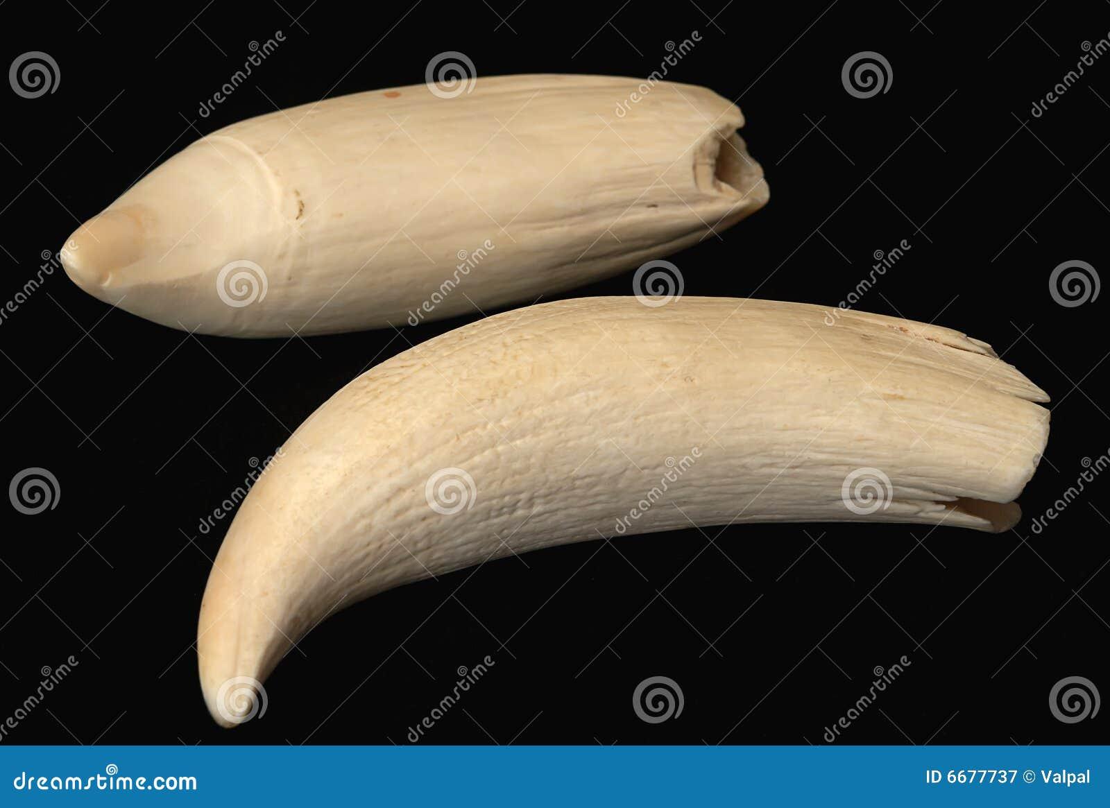 baleine de dent de cachalot photographie stock libre de droits image 6677737. Black Bedroom Furniture Sets. Home Design Ideas