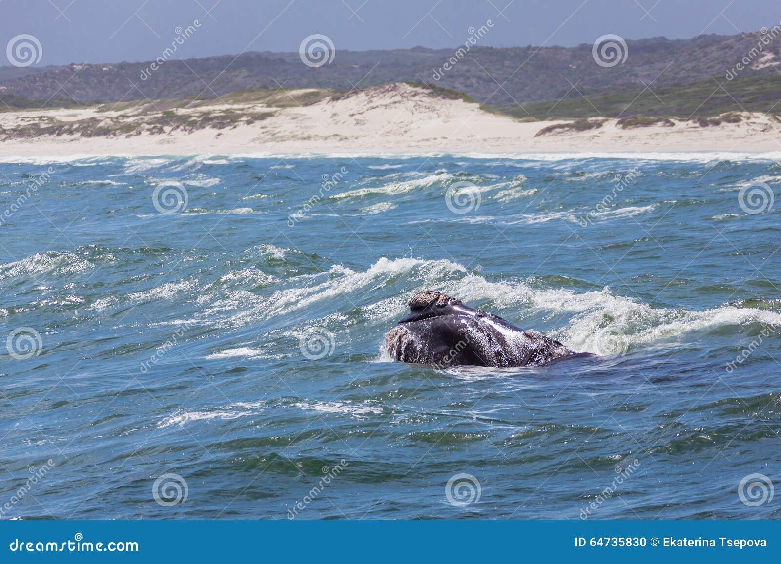 Baleine droite sud-africaine
