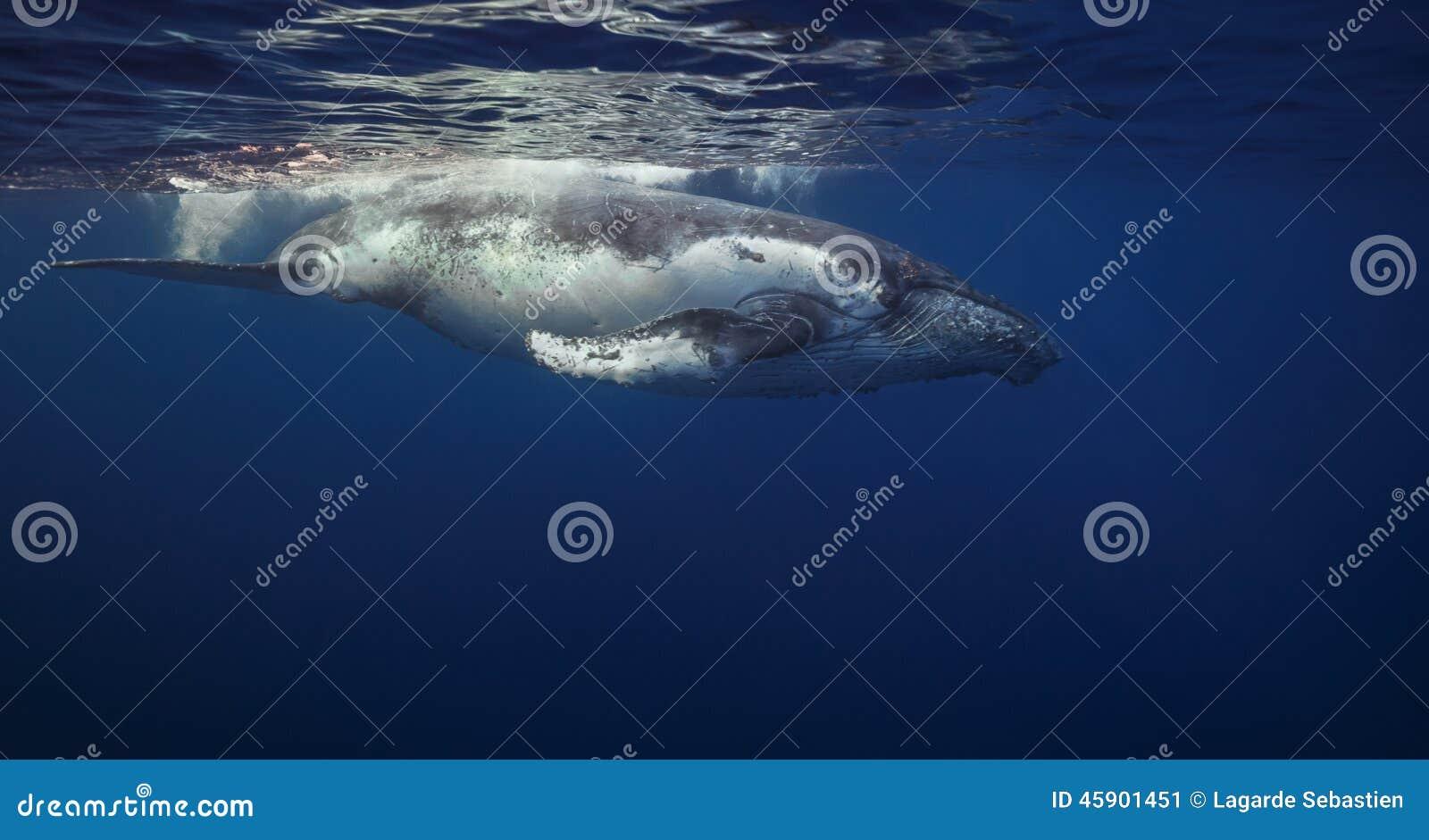 Baleines de bosse
