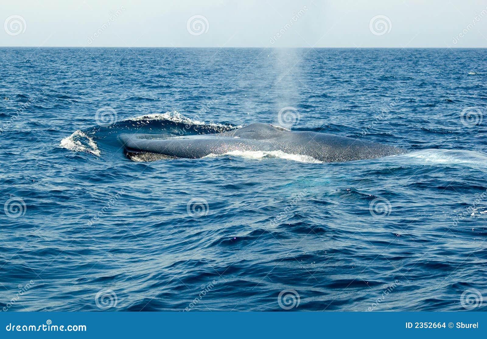 Balena Blu Immagini Stock - Immagine: 2352664