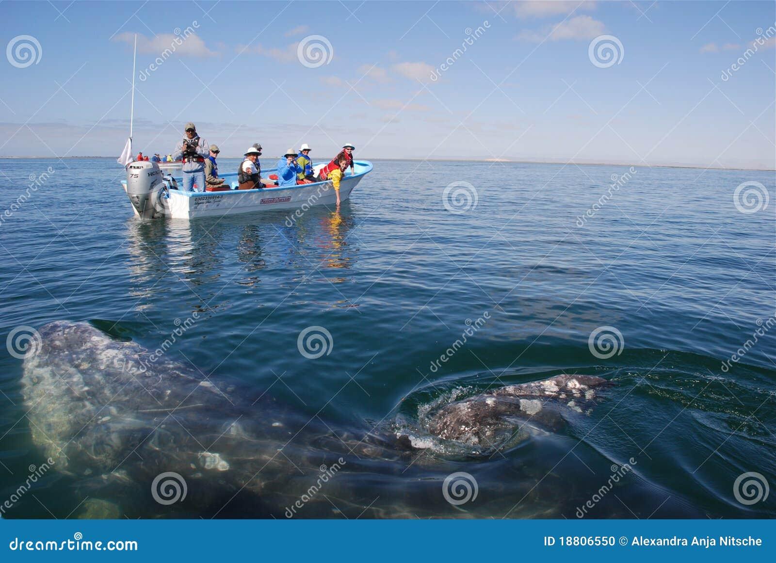Balena che guarda la laguna Baja California del San Ignazio