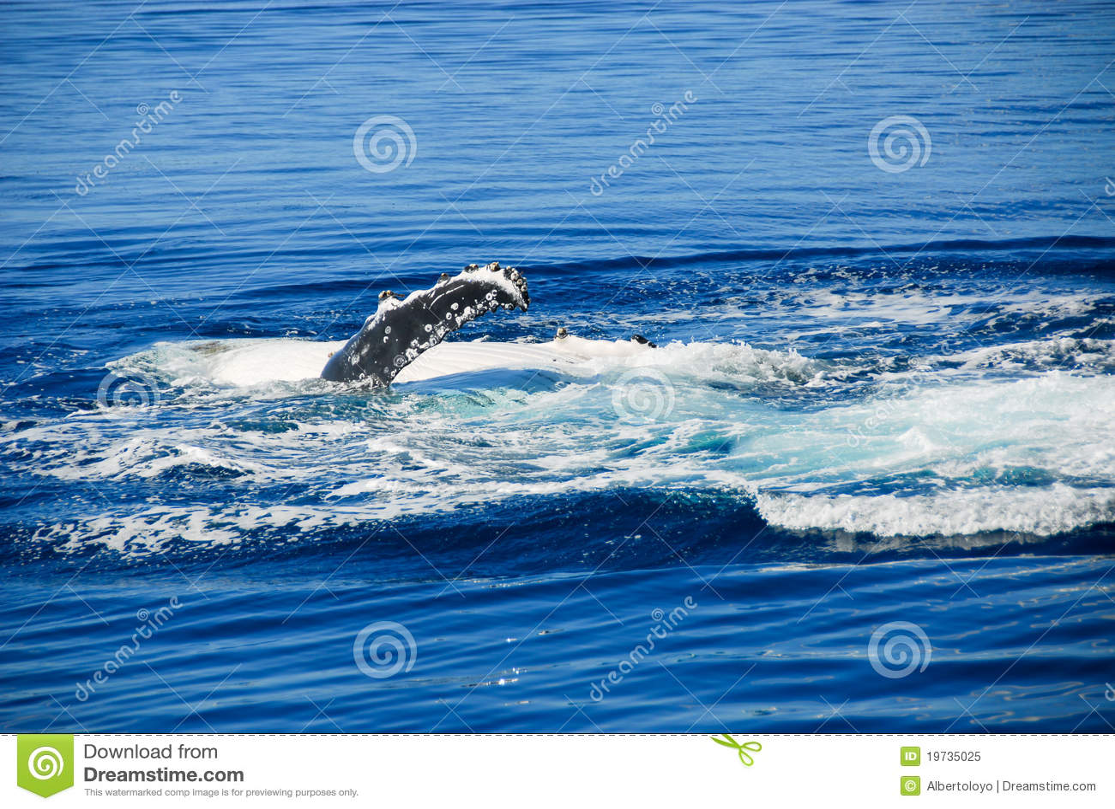 Balena di Humpback nella baia di Hervey, Australia