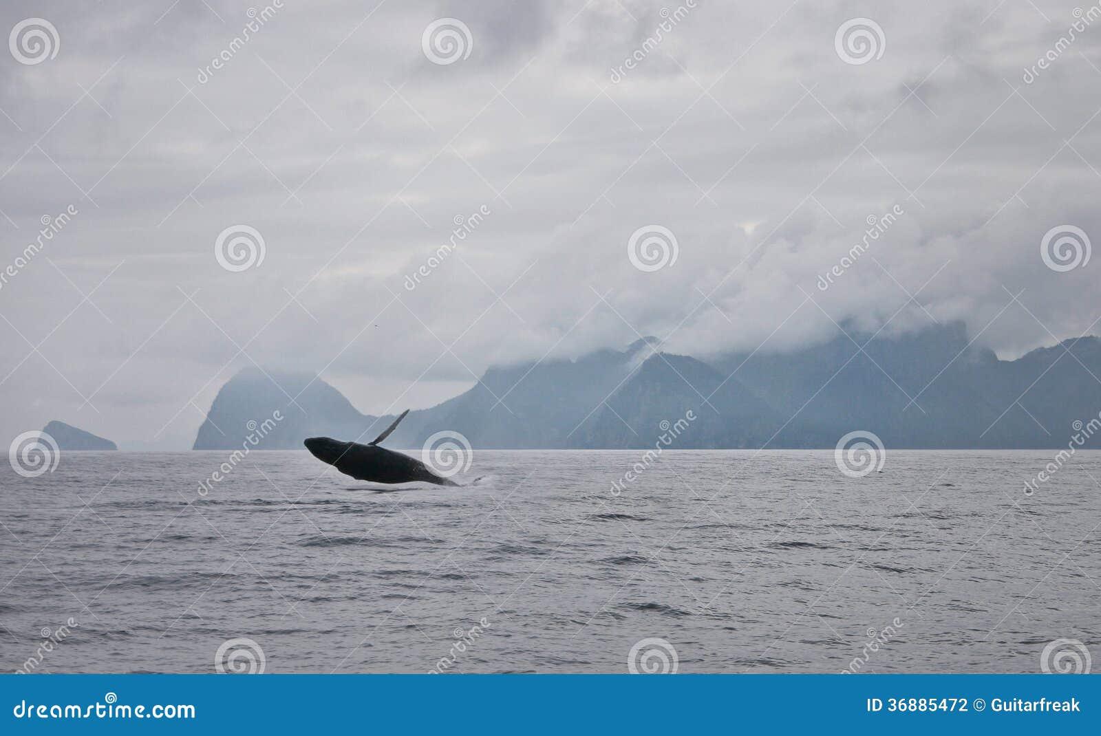 Download Balena Di Seward Nella Violazione Dell'Alaska Fotografia Stock - Immagine di humpback, spruzzata: 36885472