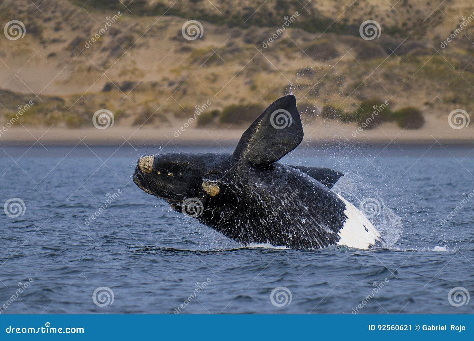 Balena, Patagonia, Argentina