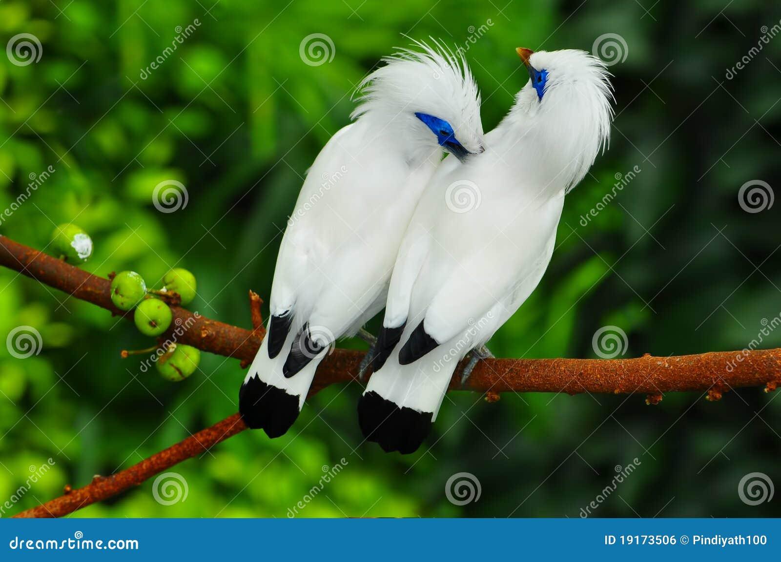 Bali fågelmynah
