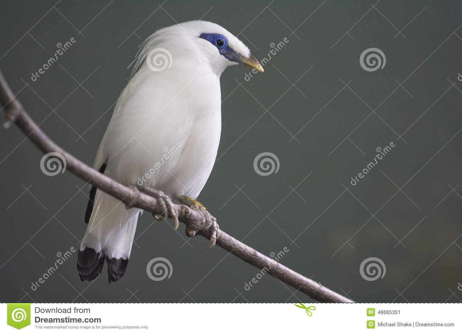Bali Myna Bird Stock Image Image Of Blue Black Animal 48665351