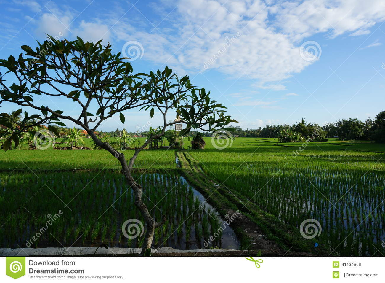 Bali rice fields and tree