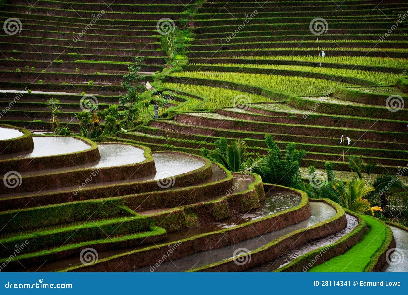 Bali Rice sätter in