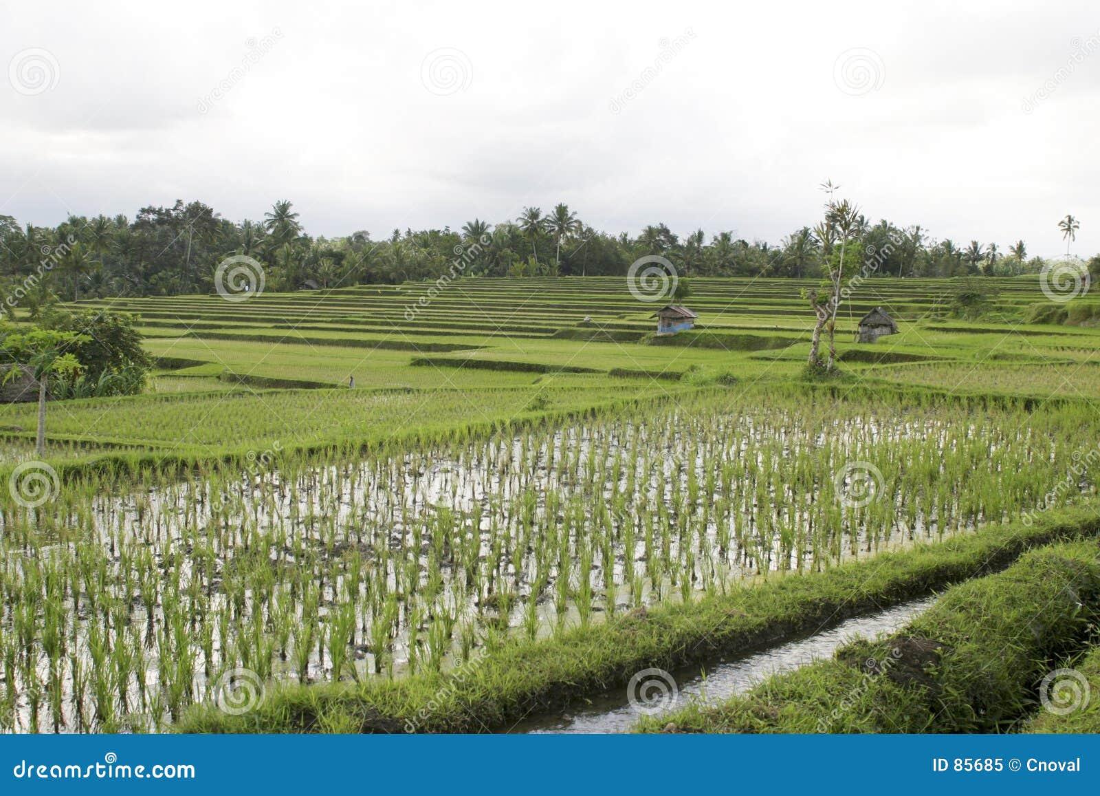 Bali ricefield
