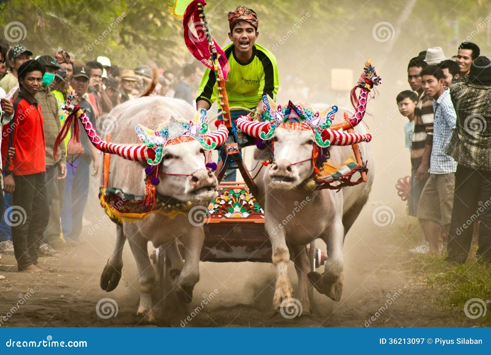 Bali Traditional Cow Race